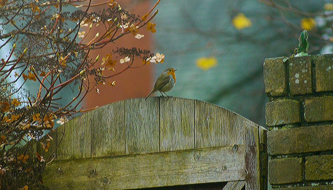 Garden Robin