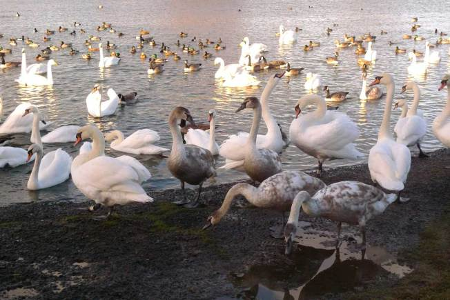 Cygnets and swans at Caerlaverock