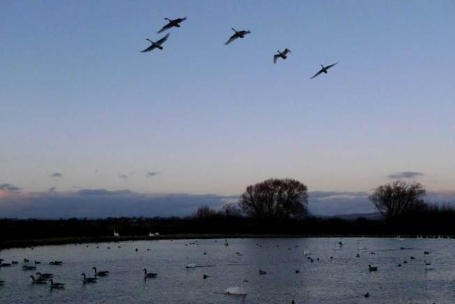 Swans at Caerlaverock
