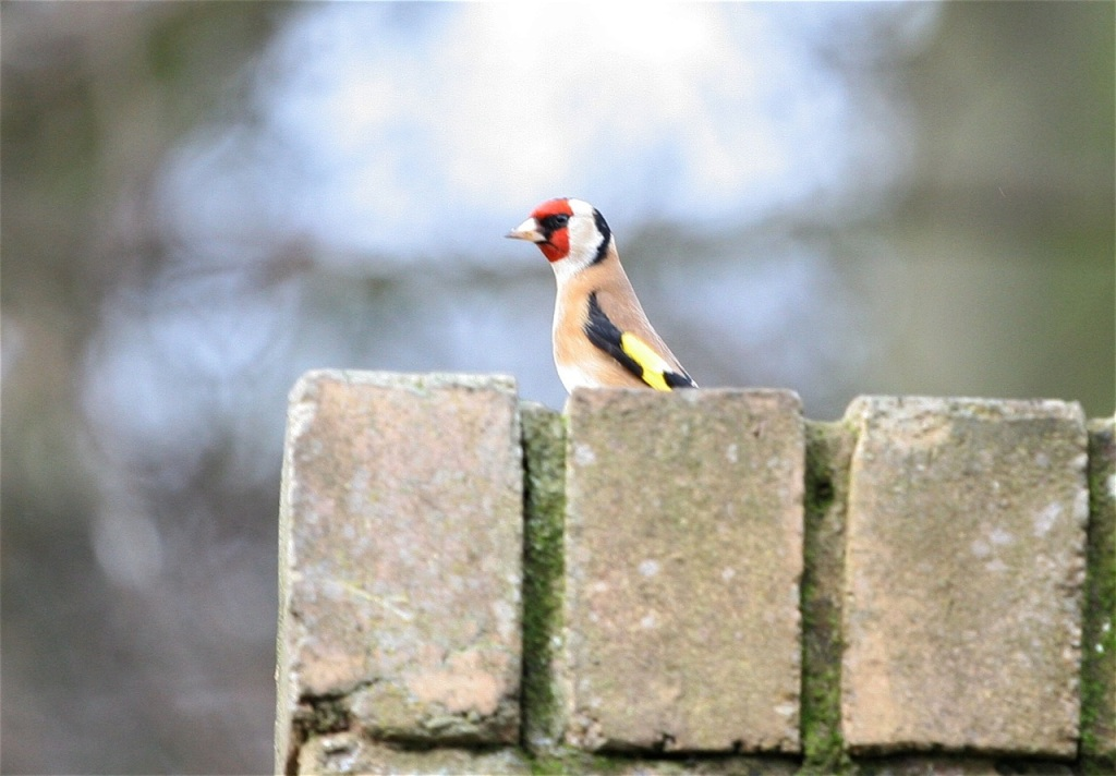 Garden Goldfinch