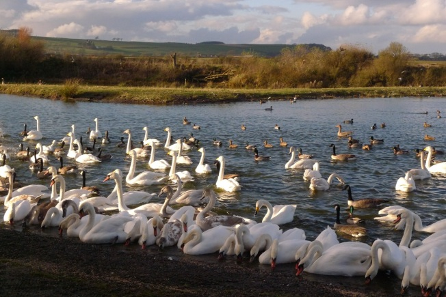 Swans after feeding