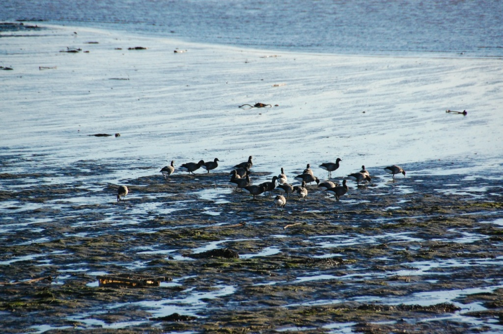 Brent Geese on Holy Island