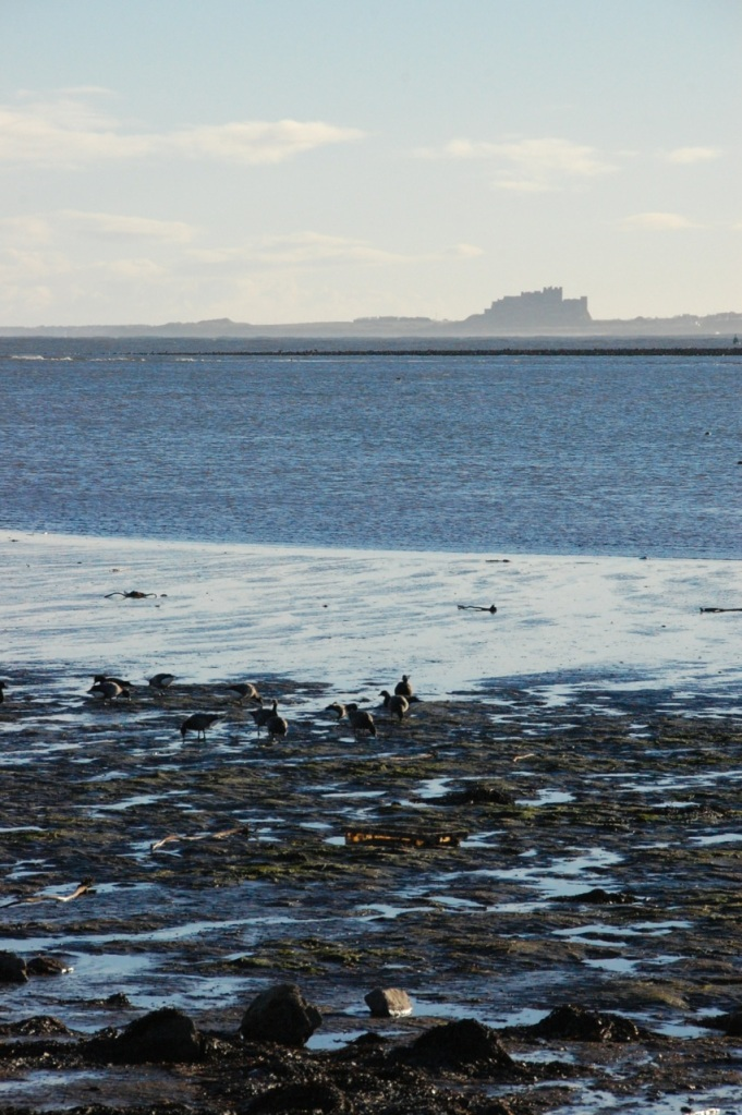 Brent Geese with Bamburgh Castle in distance