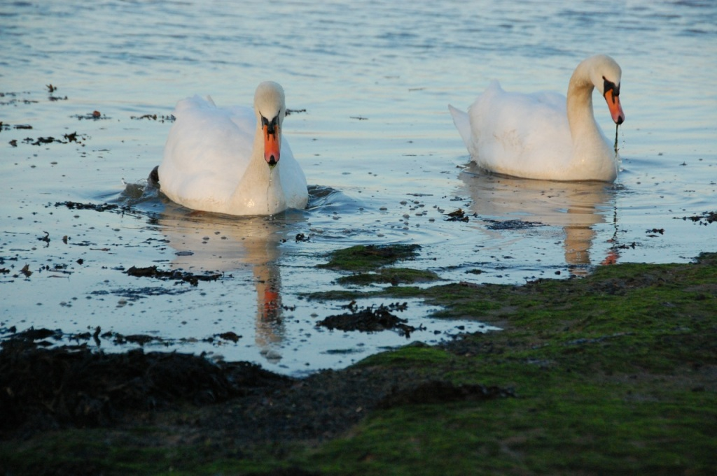 Mute swans feed in the gloopy mud