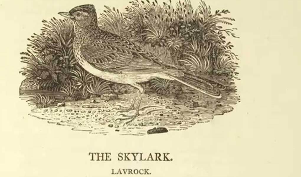 Bewick's Skylark