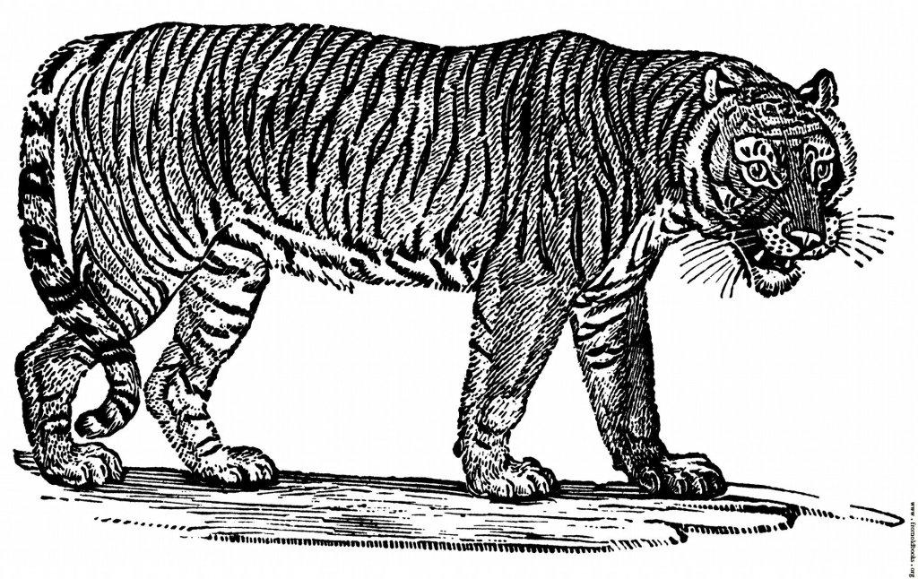Bewick's Tiger