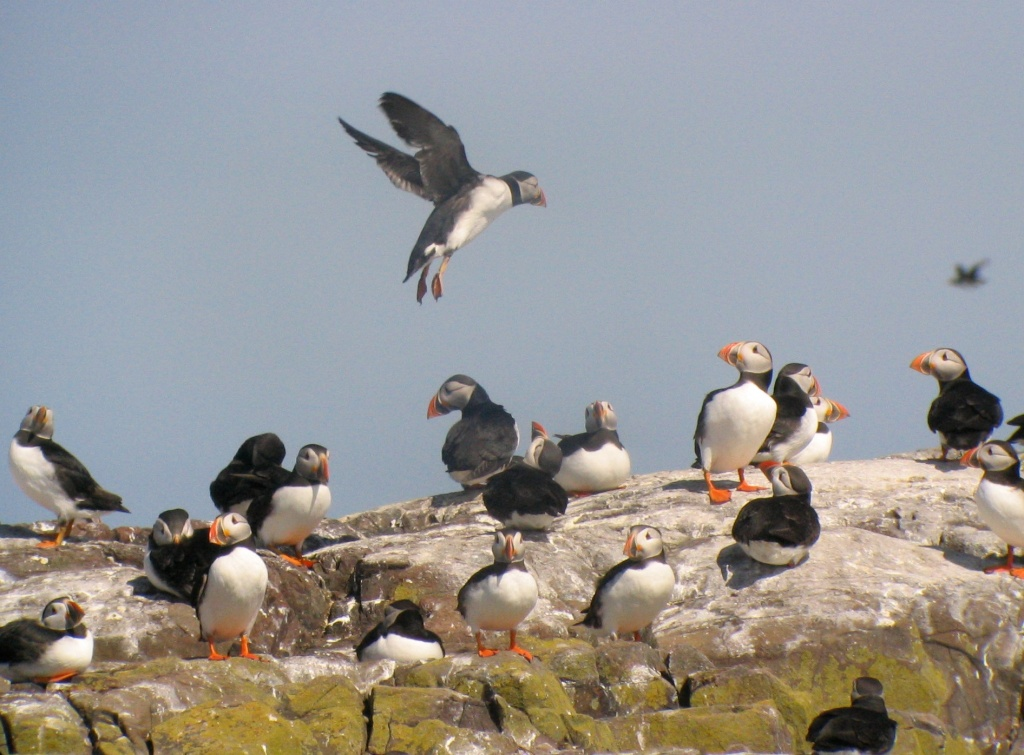 Puffins on the Farne Islands