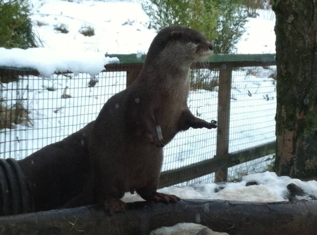 Short-toed Eurasian otter at Washington Wetlands Centre