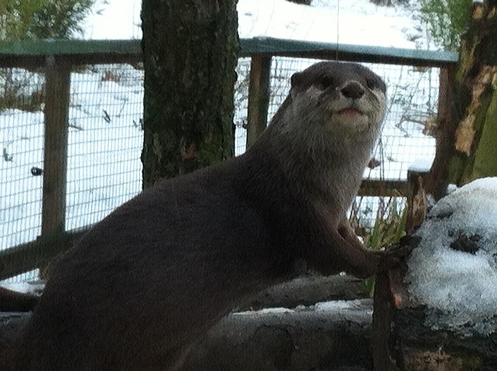 Otter contemplates snow scenario
