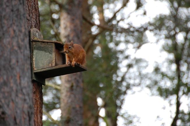 Red squirrel at Loch Garten