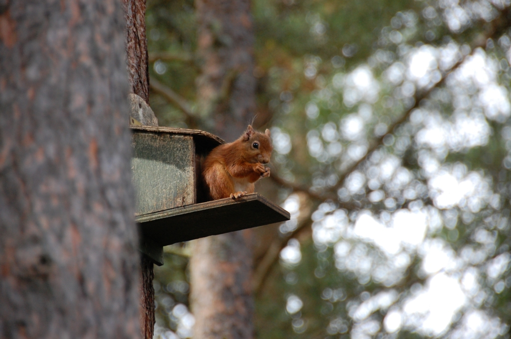 Red squirrel in Lake District