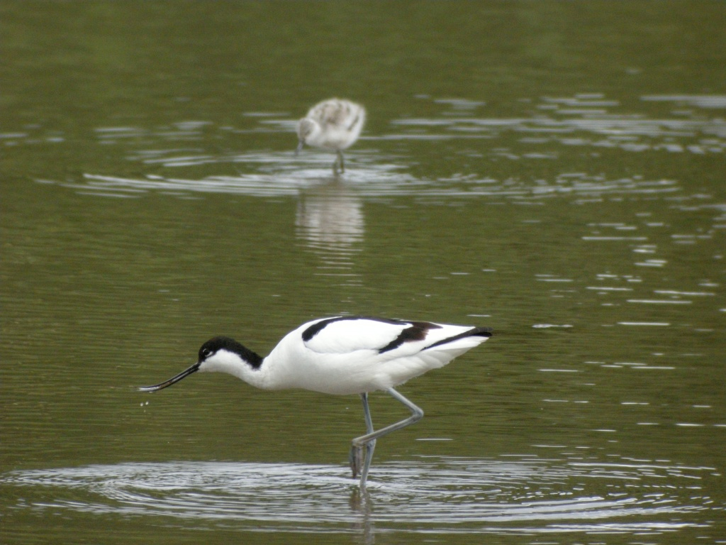 Avocet and chick