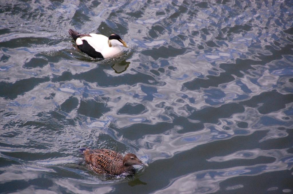 Eider duck pair