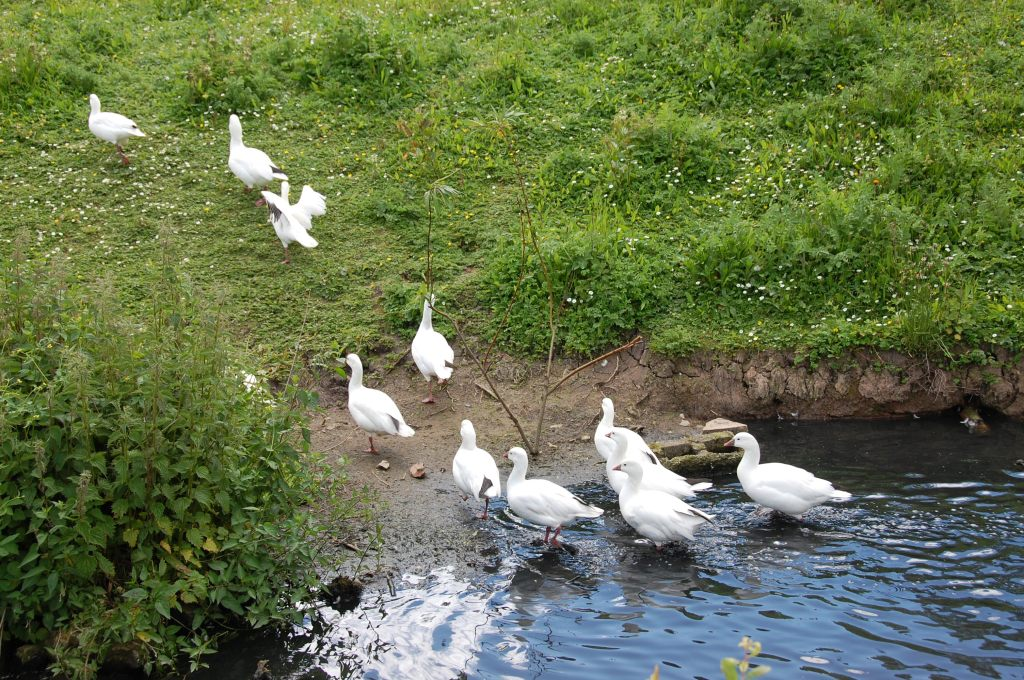 Ross' Geese