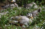 Nesting geese