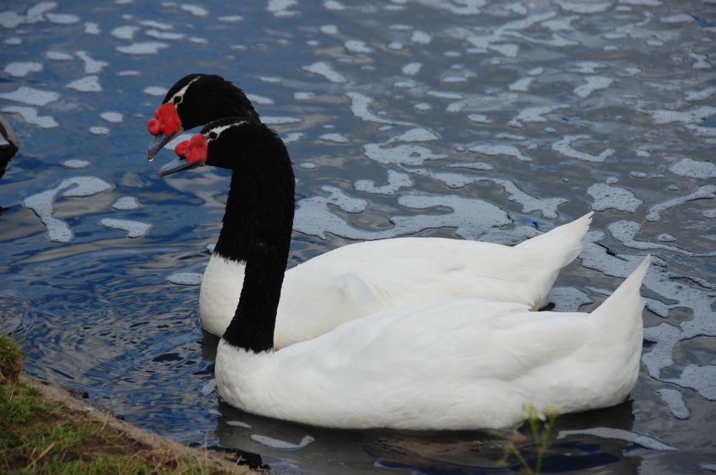 Black necked swans