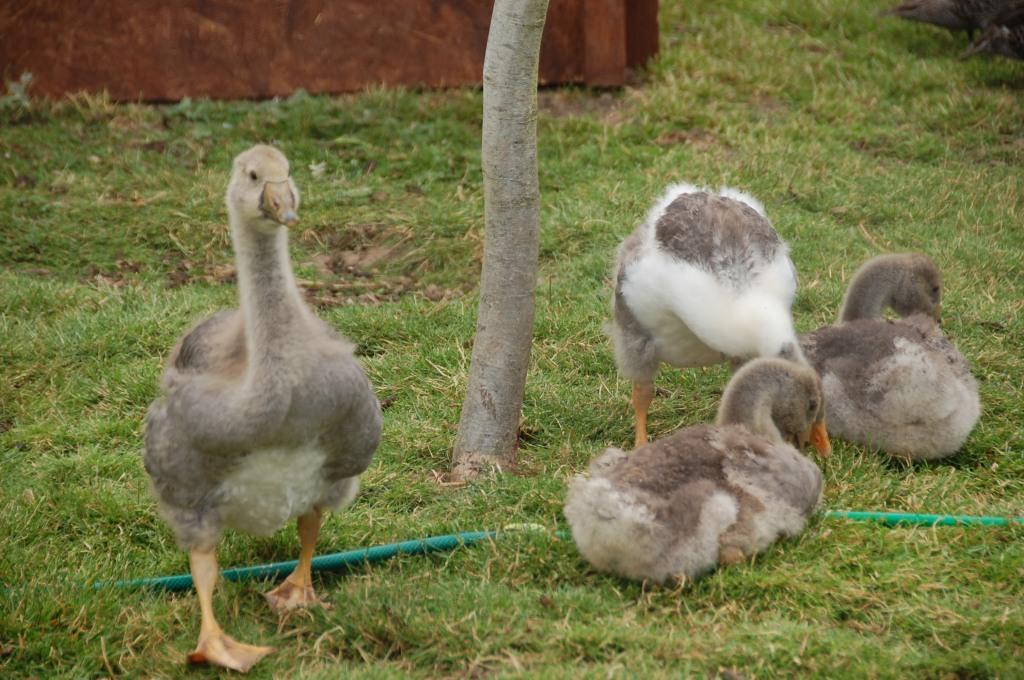 Duckery