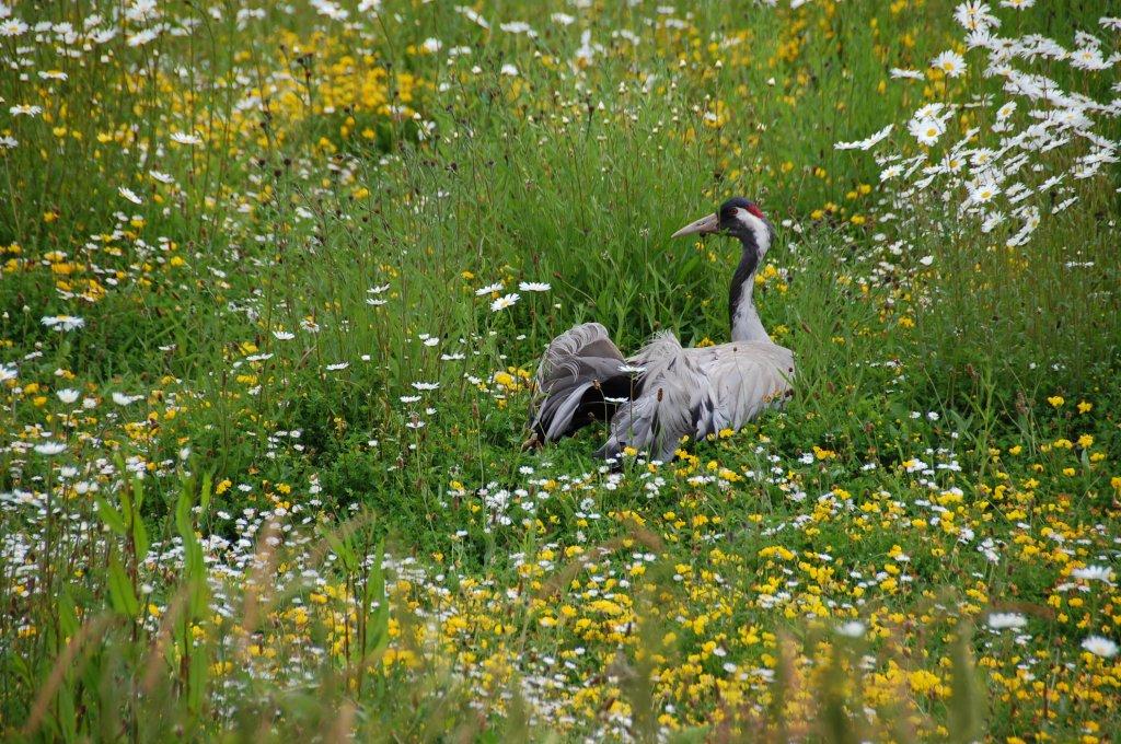 Crane in wetland