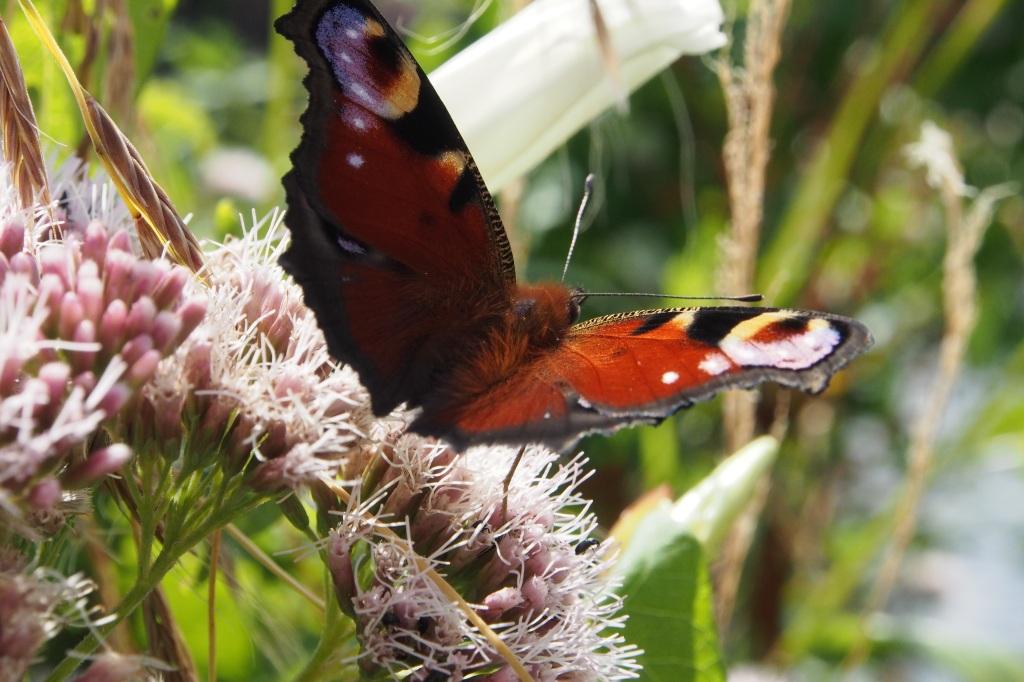 Butterfly in the wildlife garden