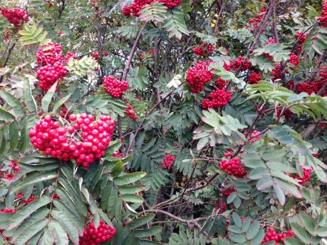 Hauxley reserve berries