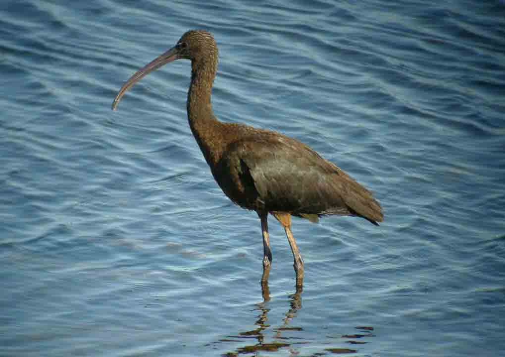 Glossy Ibis at Druridge Ponds