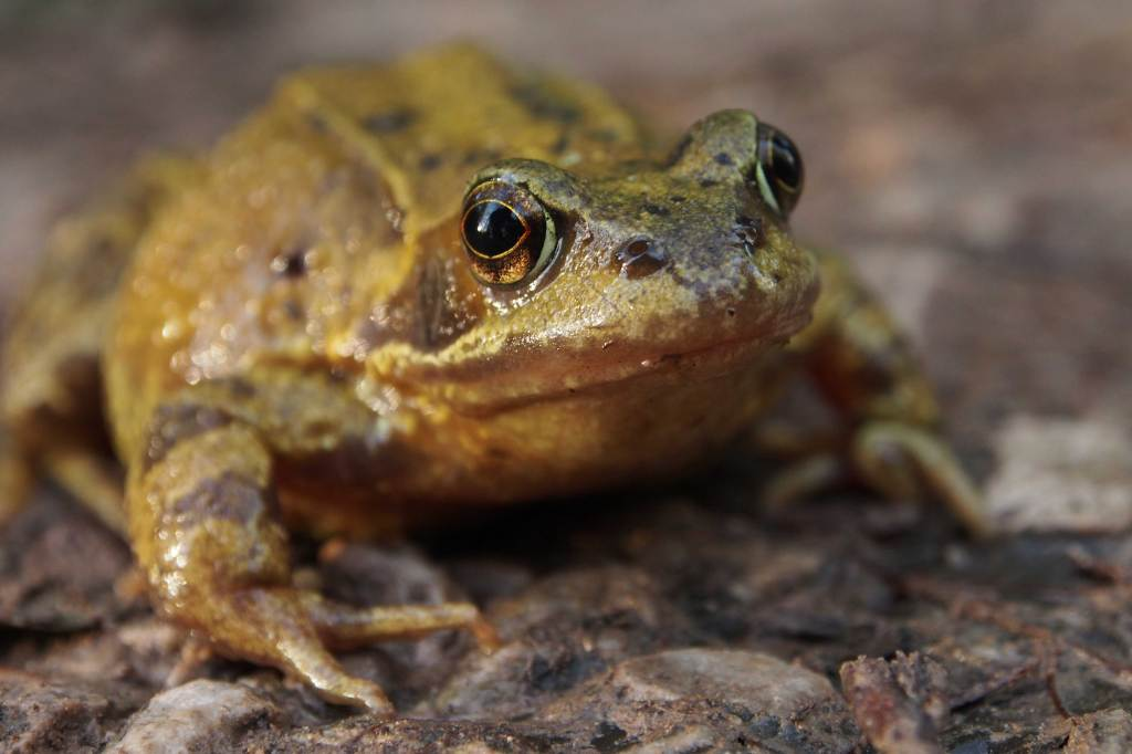 Toad at Leighton Moss RSPB reserve