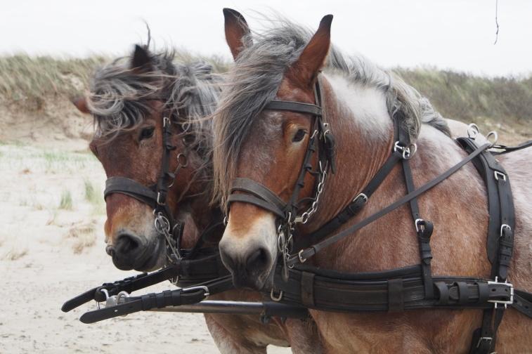 Horses on Schiermonikoog