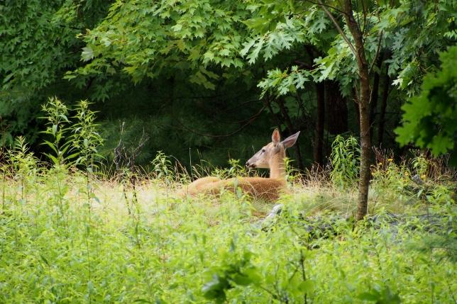 Acadia deer