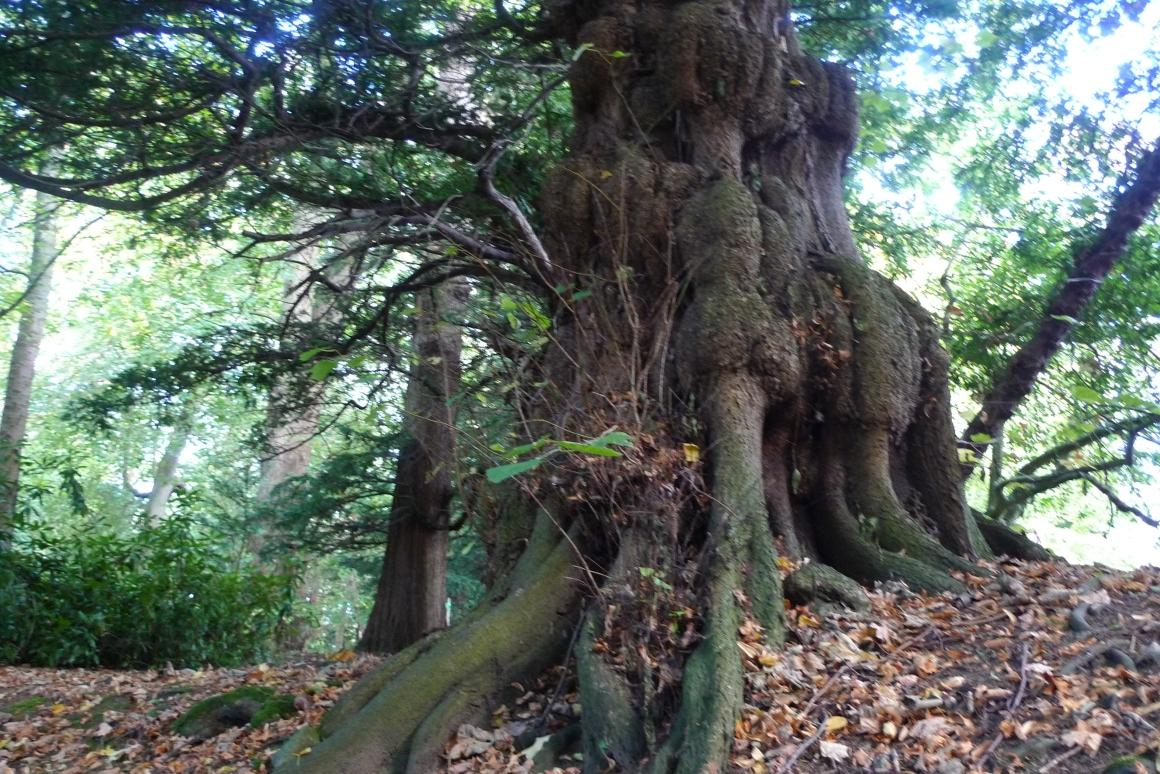 Historic tree at Cheeseburn