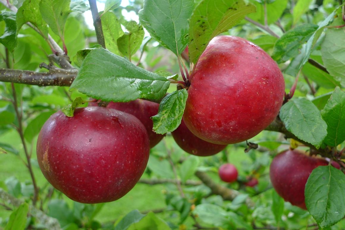 Apples at Cheeseburn