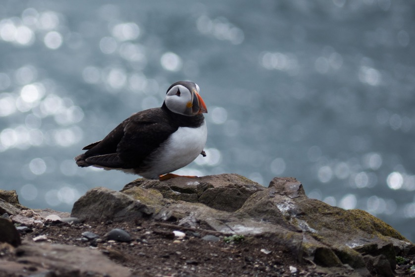 Puffin on Farnes