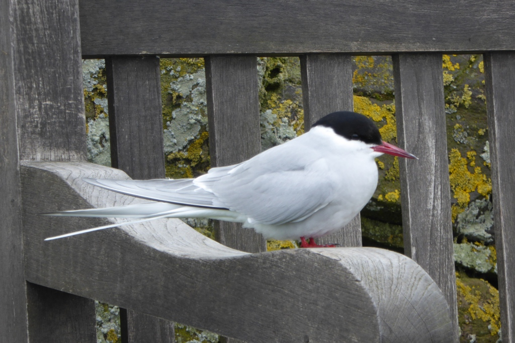 Tern on Farnes