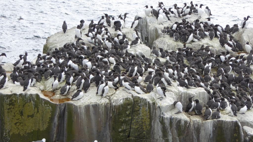 Guillemots on the Farnes