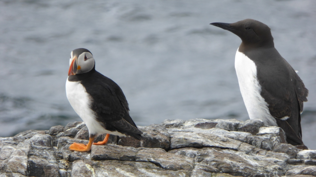 Puffin and guillemot