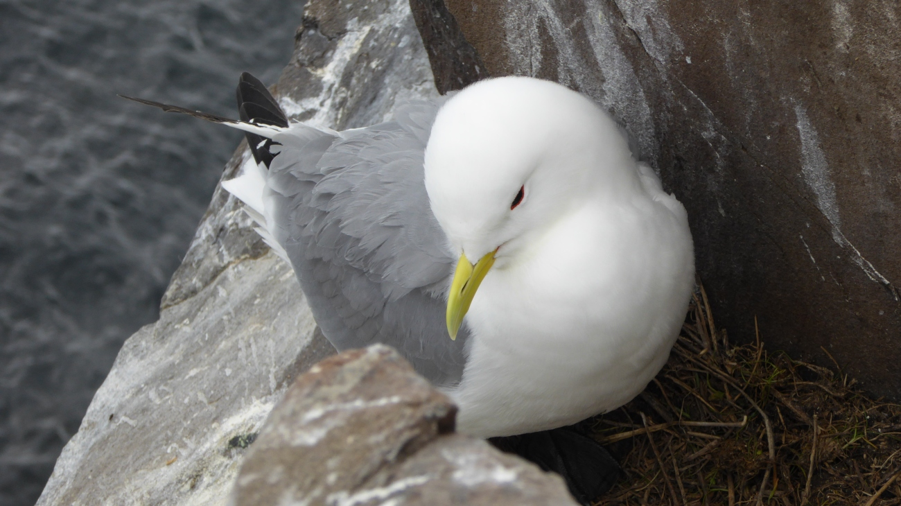 Kittiwake on Farnes