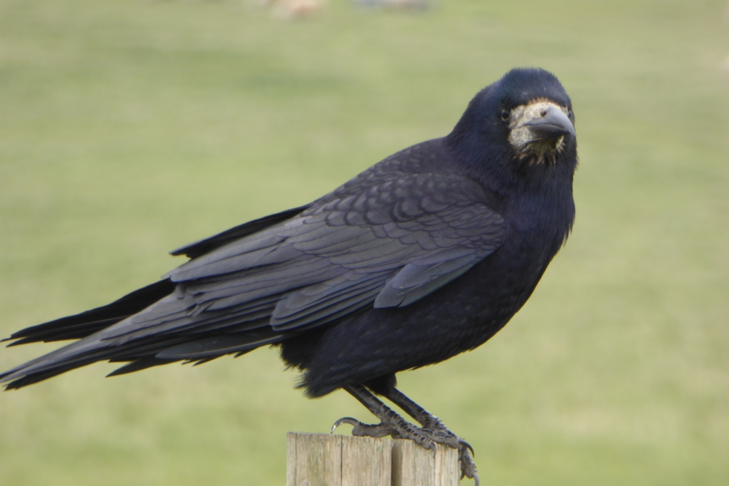 Rook at Stonehenge