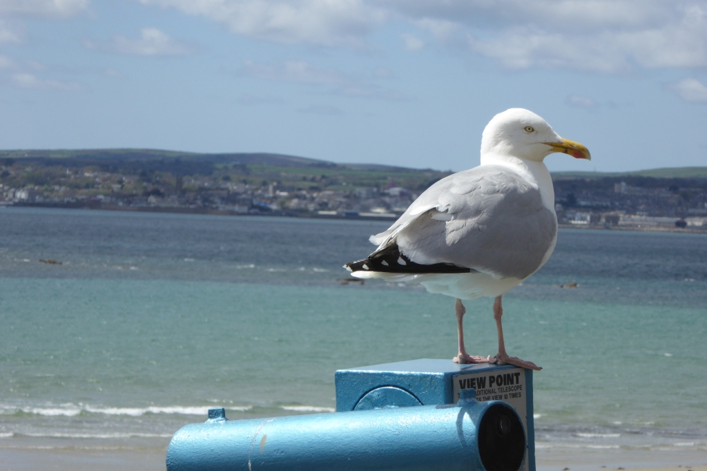 Sea gull - St Michael's Mount