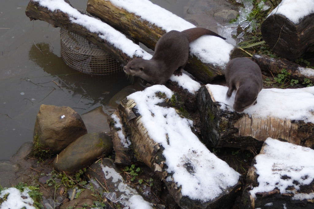 Otters on ice