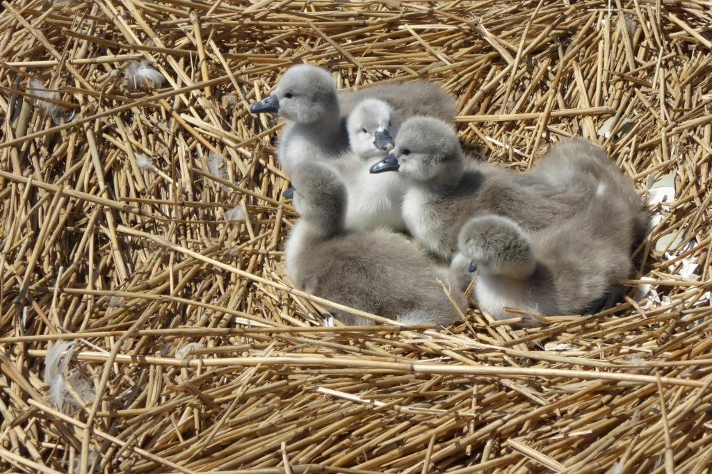 Swan cygnets at Abbotsbury