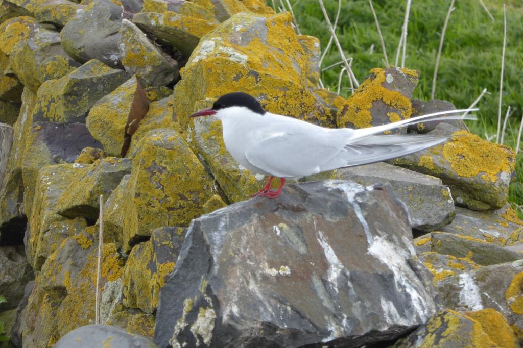 Arctic Tern Farnes