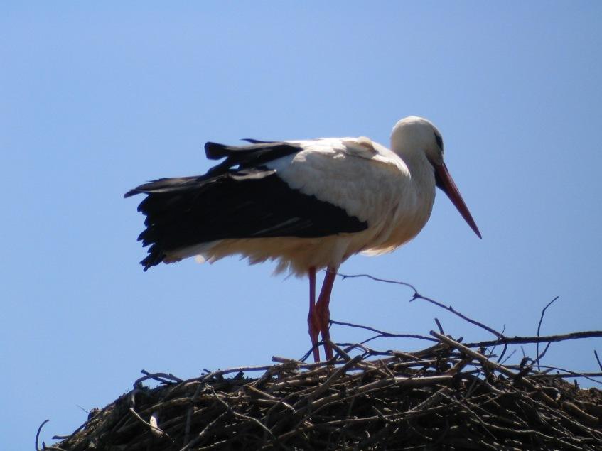 Stork in Spain