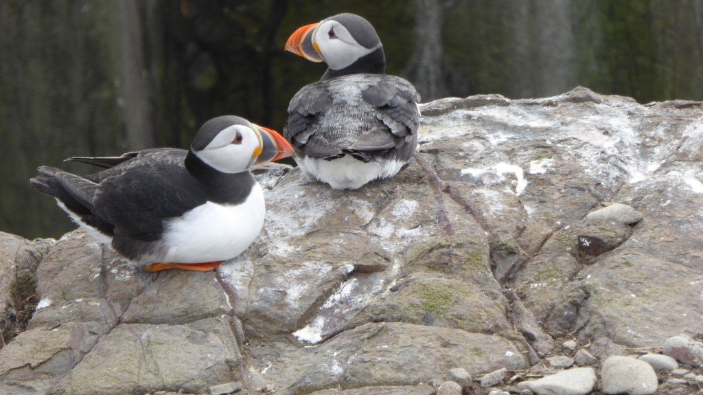 Puffins on Farnes