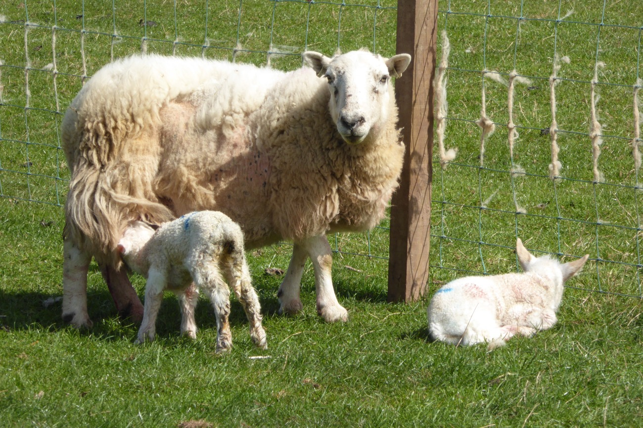 Sheep with lambs at St Abb's