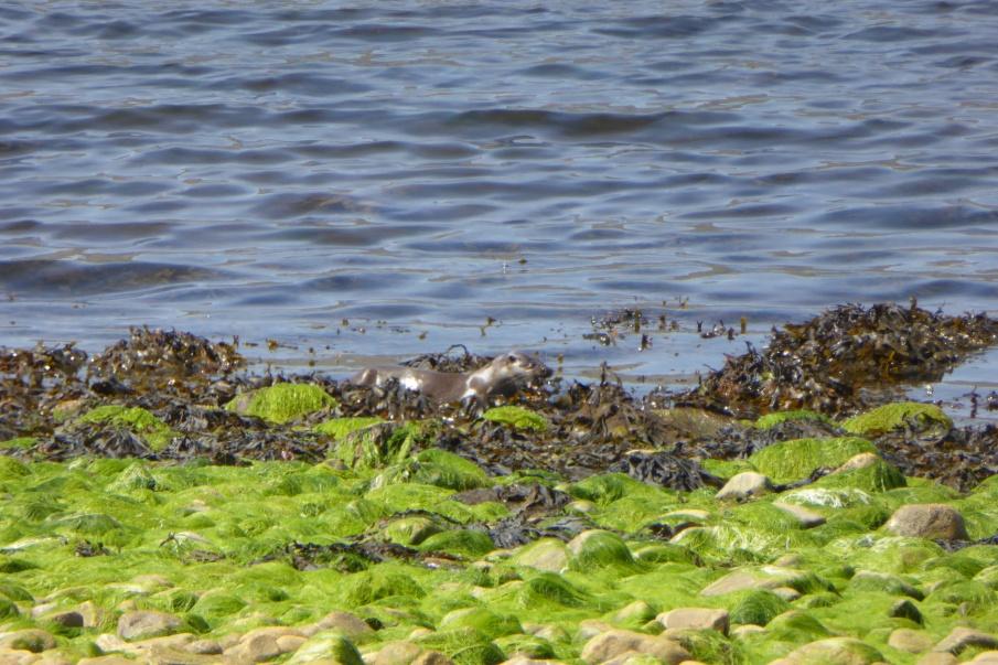 Otter on Skye
