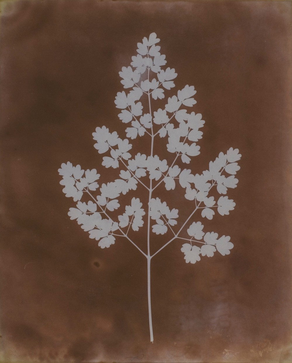 William Henry Fox Talbot, Thalictrum minus (lesser meadow-rue), probably early 1839. Courtesy Hans P. Kraus Jr. Photo London 2018, Sun Pictures Then and Now – Talbot and his Legacy Tod