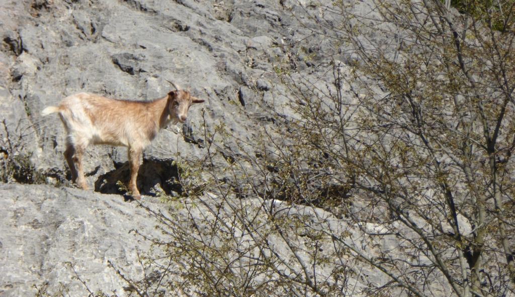 Goat mallorca Lluc