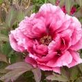 Cheeseburn flower
